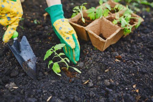 высадить рассаду в грунт