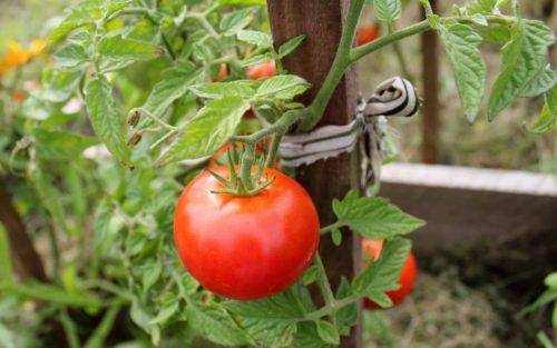 удобрения для томатов на основе соды