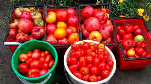 подкормить помидоры для сладости
