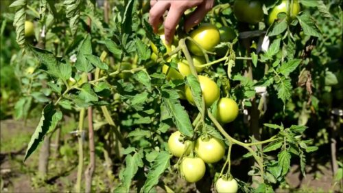 когда пасынковать томаты