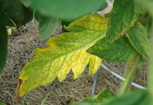 опадают листья у рассады томатов