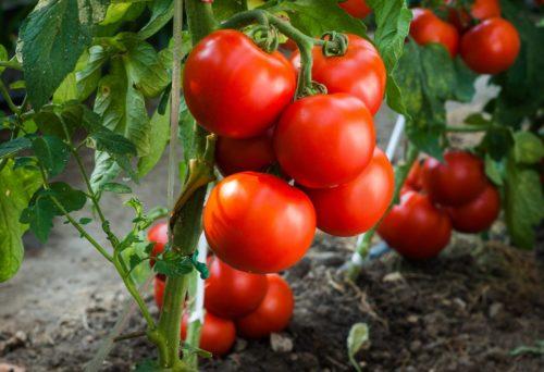 томаты без рассады