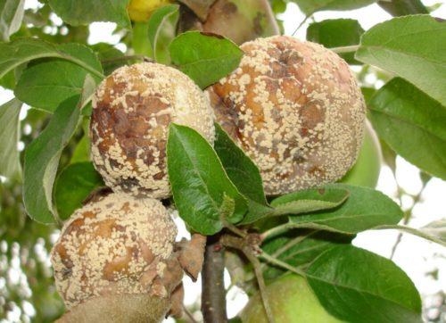 У яблони гниют плоды