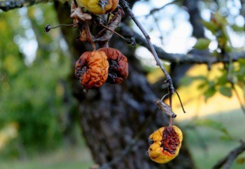 Гниют плоды на яблоне
