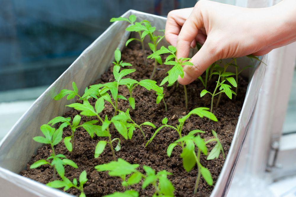 Неправильный рост рассады помидор