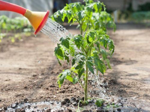 Poliv-pomidorov