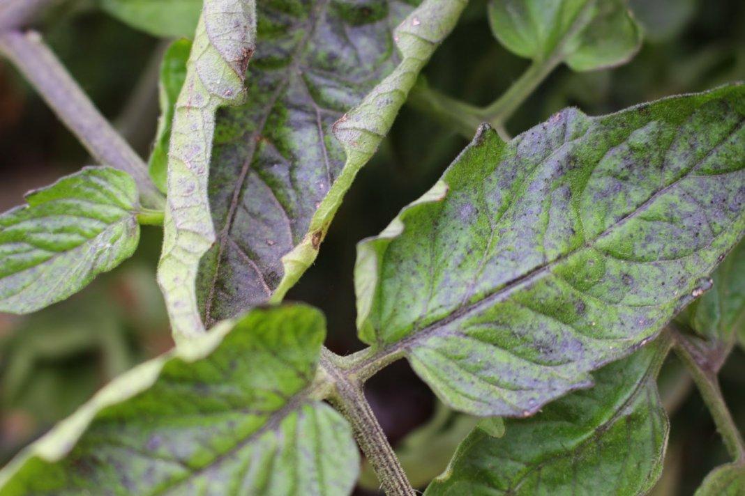 Посинение листьев и плодов помидор