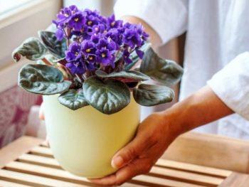 cvetuschaja fialka