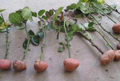 kartofel dlja kornej