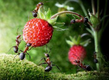 muravji na jagodah