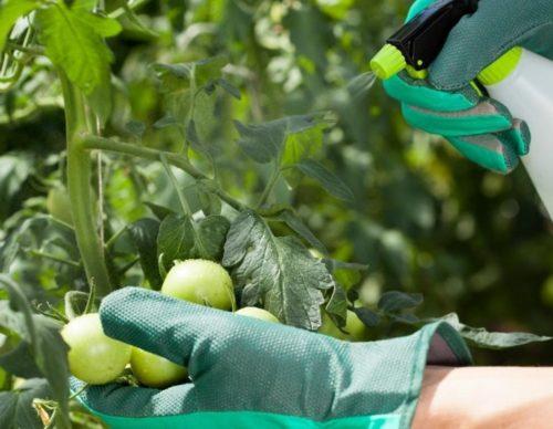 opryskivanie tomatov