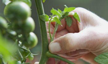 Пасынки томатов