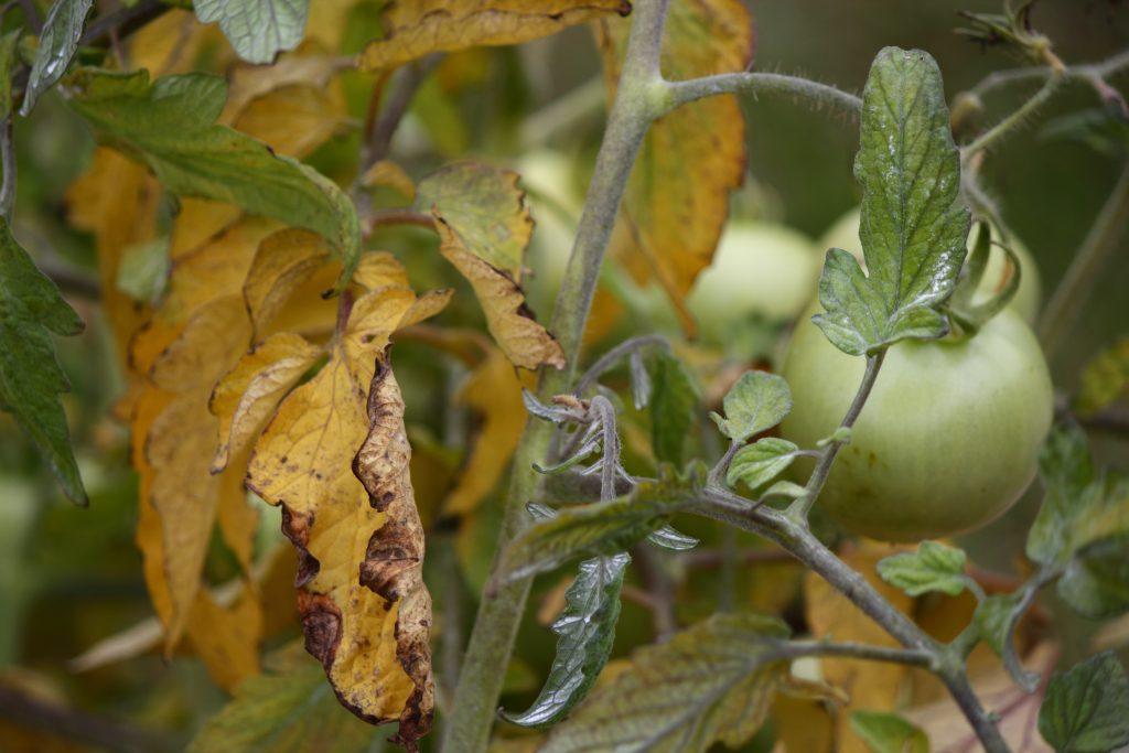 Что делать, когда сохнут листья у помидоров
