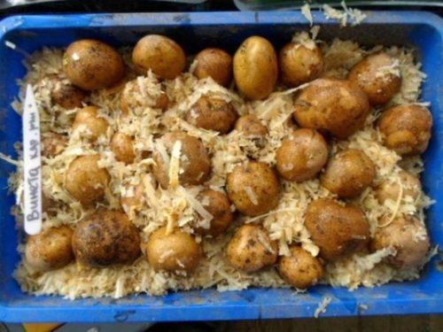 prorashchivanie-kartofelya