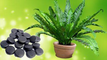 активированный уголь для комнатных растений