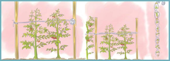 схема подвязывания помидор