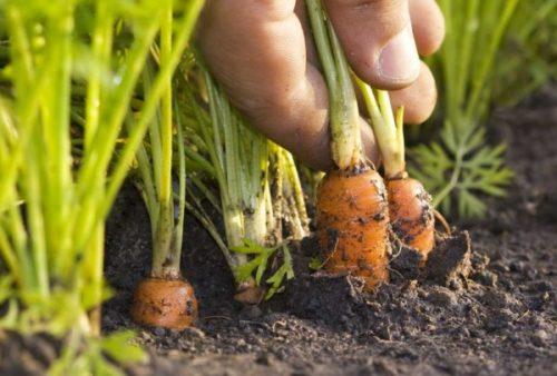 morkov v zemle