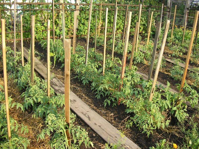 Подвязка помидор колышками