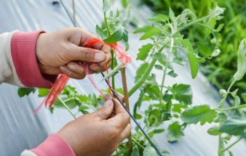 podvjazka tomatov tesmoj