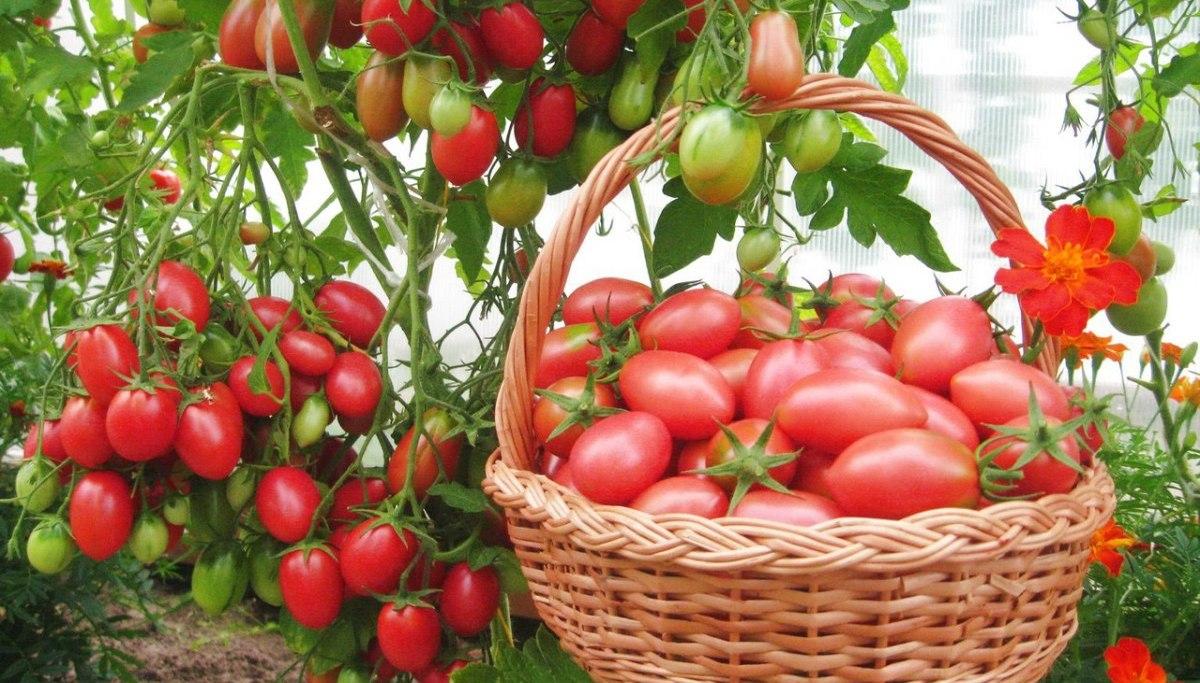 сладкие розовые помидоры