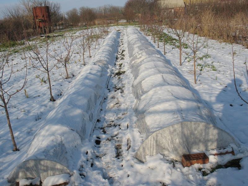 Укрытие ирисов на зиму
