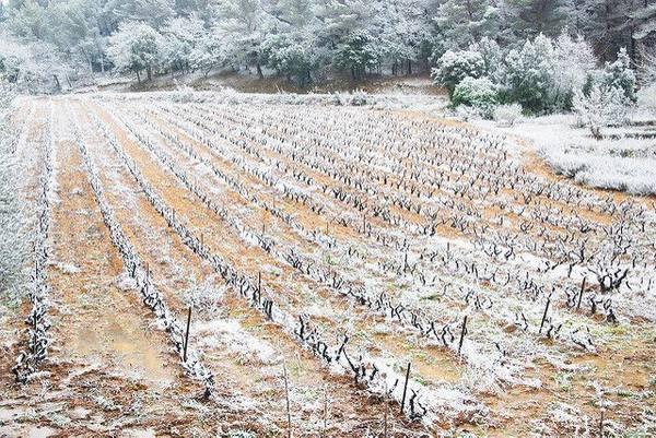 Окучивание винограда снегом