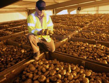 Храним картофель правильно