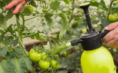 metronidazol dlja pomidorov