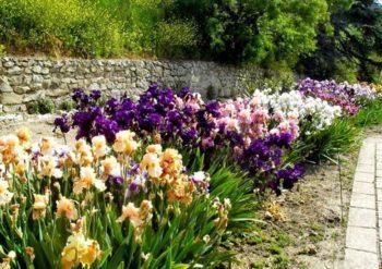 Разноцветные кусты ирисов