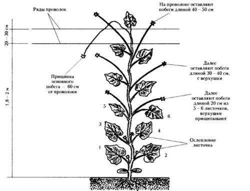 prischipka-ogurtsov shema