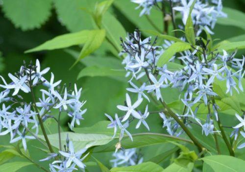 Amsonia v cvetu