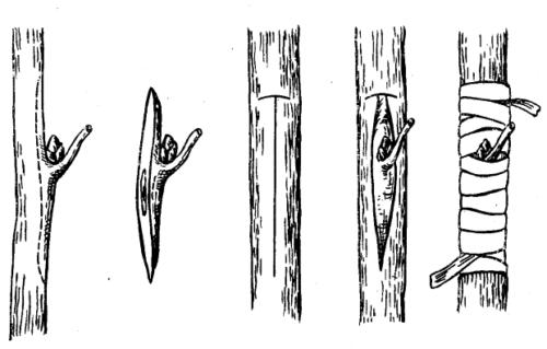 okulirovka