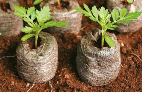 правила выращивания рассады