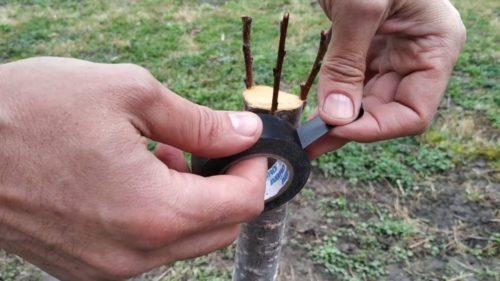 защита прививки плодовых деревьев