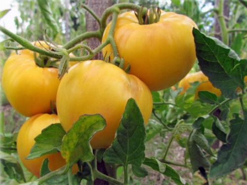 томаты сорта гигант лимонный