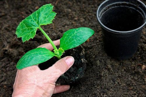 ошибки при выращивании кабачков