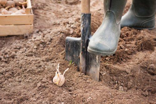 сроки посадки картошки в грунт