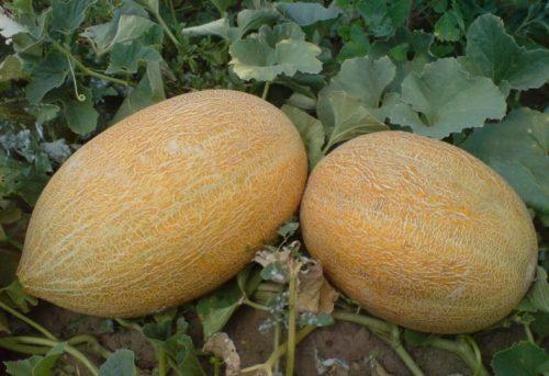 выращивание дыни на грядке