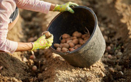 выращивание картошки