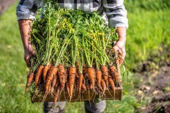 Когда убирать морковь с грядки на хранение