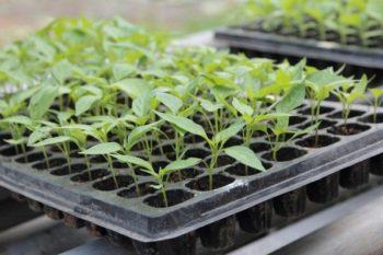 Когда сеять перцы на рассаду по лунному календарю