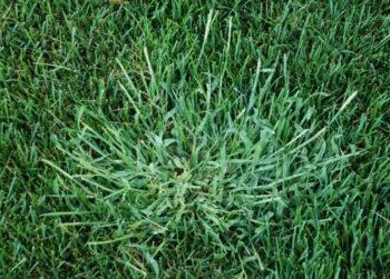 Как избавиться от сорняка crabgrass на газоне