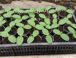 Когда сажать огурцы на рассаду в 2020 году в Подмосковье: расчет благоприятных дней по лунному календарю и особенности выращивания
