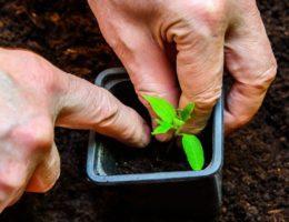 Пикировка томатов по лунному календарю 2020 года: благоприятные дни для работы с рассадой и способы пересадки
