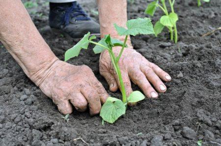 Благоприятные дни для посадки огурцов в мае 2020 года по дням: оптимальные дни для посева семенами в грунт по фазам луны