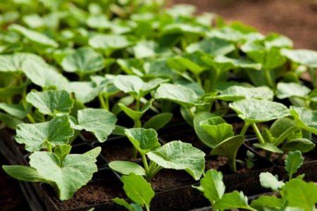 Когда сажать кабачки на рассаду в 2020 году по лунному календарю: расчет благоприятных дней с учетом региона и способа выращивания