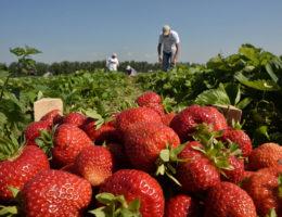 Сбор клубники в совхозе им. Ленина в 2020 году: время начала сбора ягоды, условия для сборщиков, выращиваемые сорта и отзывы