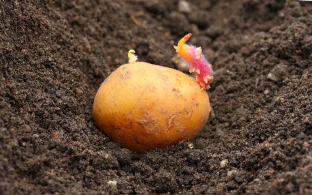 Когда сажать картофель в Подмосковье в 2020 году: выбор благоприятных дней с учетом климата региона и лунных фаз