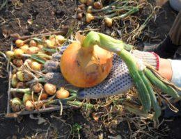 Когда убирать лук посаженный под зиму в 2020 году: выбор благоприятных дней по луне, особенности уборки урожая и способы хранения