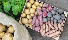 Миниатюра к статье 8 лучших сортов белорусской бульбы — самые вкусные и урожайные